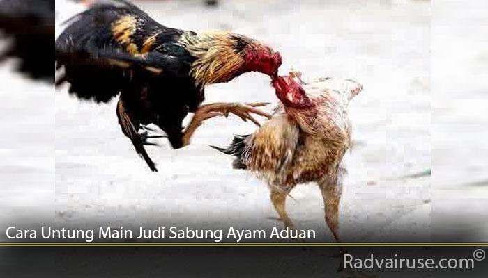 Cara Untung Main Judi Sabung Ayam Aduan