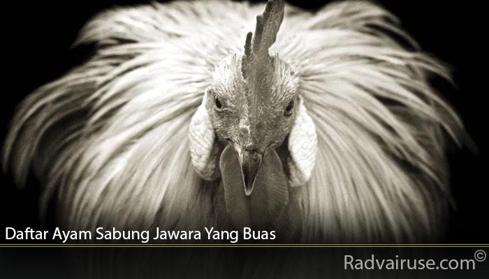 Daftar Ayam Sabung Jawara Yang Buas